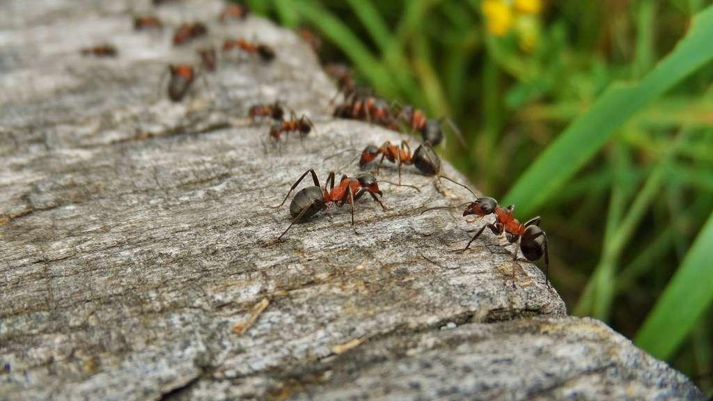 Ameisen Bekämpfen: Diese Hausmittel Helfen In Der Wohnung